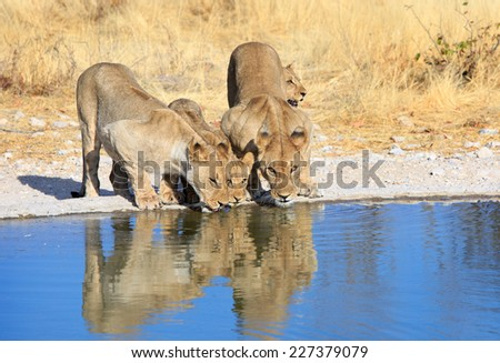 3 Lions drinking from waterhole with reflection in blue water reflected by sun - stock photo