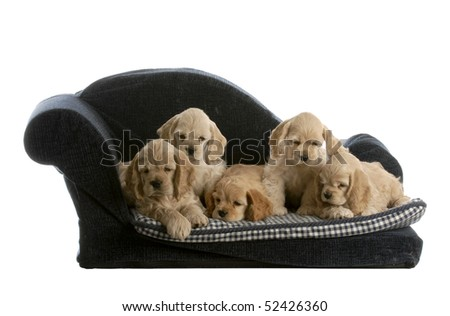 litter of cocker spaniel puppies on a dog bed isolated on white background