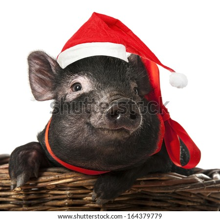 little black pig with a red santa cap - stock photo