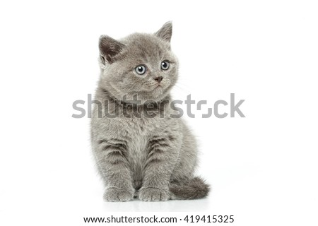 little british short hair blue kittens - stock photo