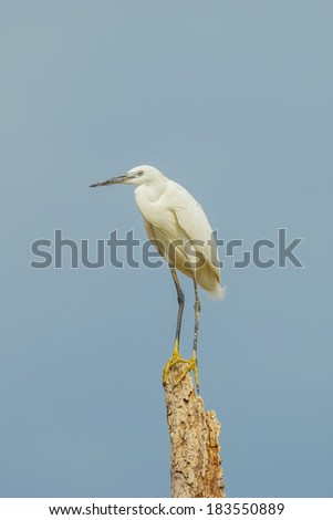 Little egret on the wood in nature of Thailand - stock photo