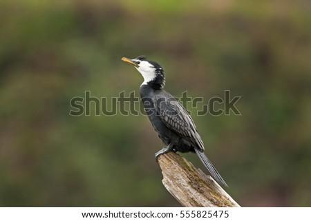 little pied cormorant little shag kawaupaka microcarbo melanoleucos phalacrocorax melanoleucos new