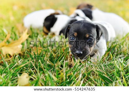 Little puppies of a jack russell playing outdoors