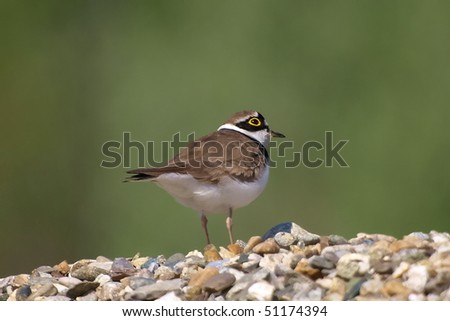 Little Ringed Plover Charadrius dubius, - stock photo