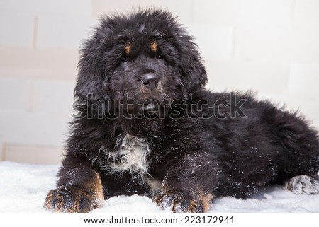 little security guard - black and red puppy of Tibetan mastiff sitting on snow - stock photo