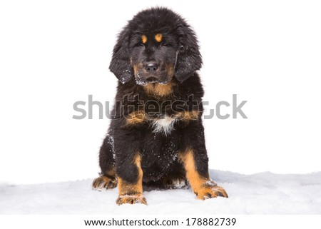 brown and white puppy Stock Photos, Light brown and white puppy Stock ...