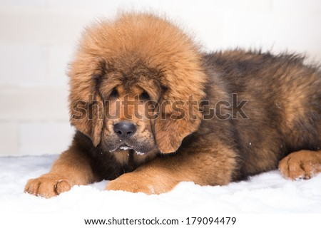 little security guard -  red puppy of Tibetan mastiff sitting on snow.  - stock photo