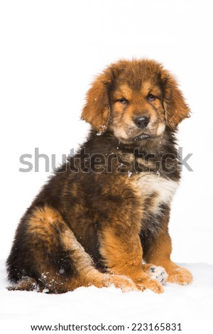 little security guard -  red puppy of Tibetan mastiff sitting on snow. isolated white background - stock photo