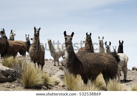 Llamas around the bolivian salt desert, Coqueza village, Salar de Uyuni, Bolivia