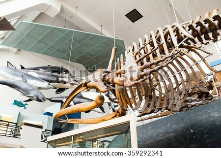 LONDON, UK,july 23, 2015: Natural History Museum - whales skeletons - stock photo