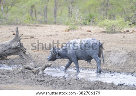 Lone African Buffalo (Cyncerus caffer) wallows in the remnant of a waterhole to obtain some release from the searing heat during a drought. Mfoloso, Zululand, South Africa - stock photo