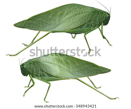 Long-horned grasshoppers, Tettigoniidae, leafhopper isolated on white background - stock photo