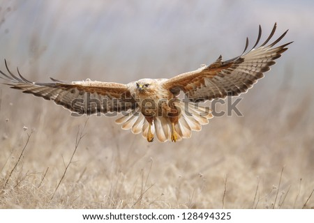 Long-legged Buzzard (Buteo rufinus) - stock photo