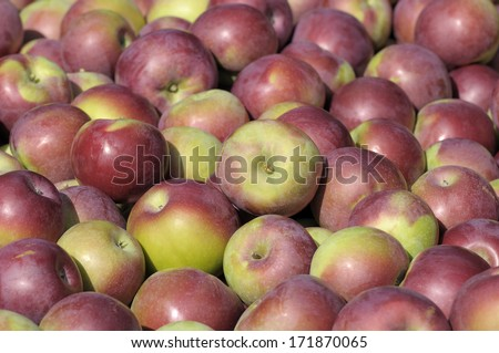lot of apples macintosh  - stock photo
