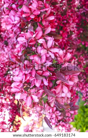 red cherry blossoms stock photo royalty free 649183174 shutterstock