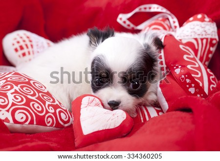 lover valentine havanese puppy dog with a red heart - stock photo