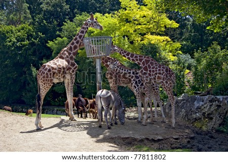 Lunch of Giraffe's Family in a zoo - stock photo