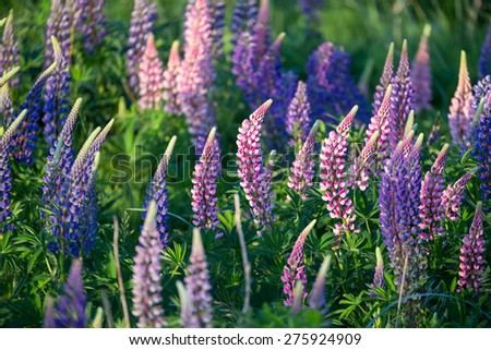 Lupinus, commonly known as lupin or lupine  - stock photo