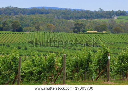 lush green vines in a vineyard - stock photo