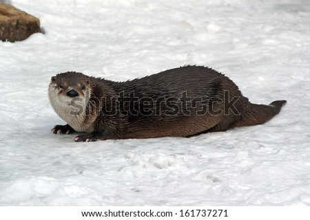 (Lutra canadensis) Canadian Otter
