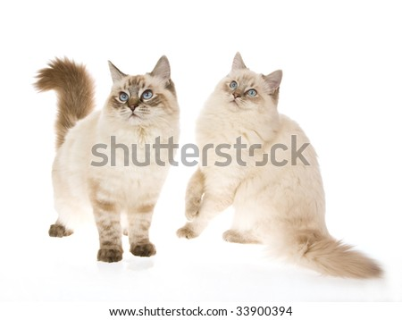 2 lynx Ragdoll cats on white background