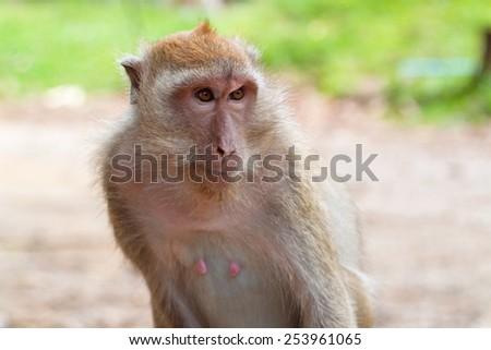 Macaque in Khao Sok National Park, Thailand - stock photo