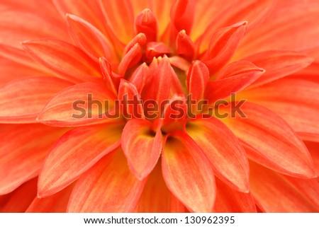 Macro image of a garden dahlia flower with dark orange petals - stock photo
