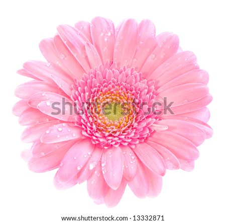 macro image of a gerbera flower in pink, yellow and green.  Isolated on white. - stock photo