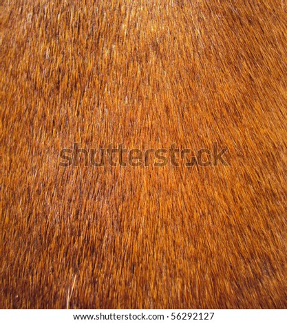 macro of a teckel's fur - stock photo