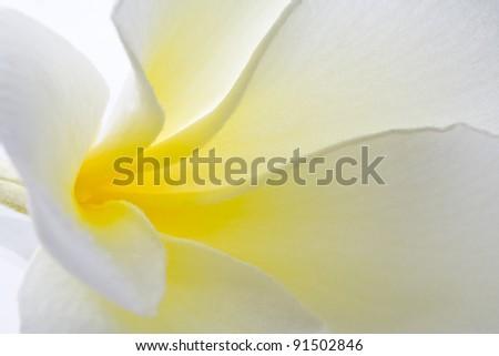 Macro photography Frangipani on white background - stock photo