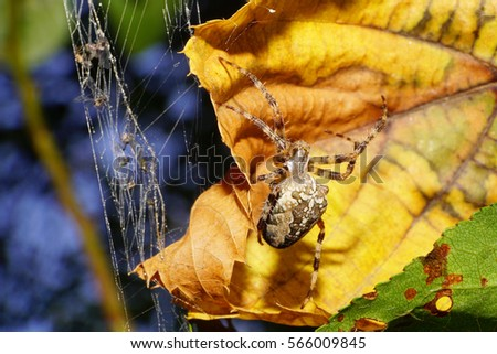 Macro view of the side and top Caucasian colored large spider Araneus with striped legs and fluffy in the lair of the spider web with prey and a yellow autumn leaves