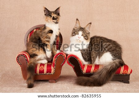 2 Maine Coon cats on chair sofa - stock photo