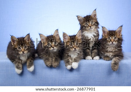 5 Maine Coon kittens in a row, on blue background