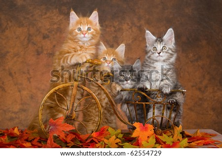 4 Maine Coon kittens in mini bicycle with fall autumn leaves - stock photo