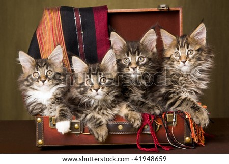 4 Maine Coon kittens inside brown suitcase - stock photo