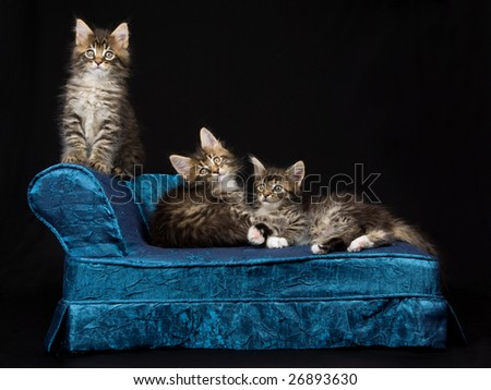 3 Maine Coon kittens on blue miniature chaise sofa on black background - stock photo