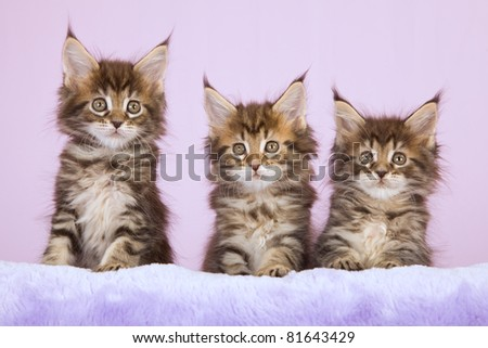 3 Maine Coon kittens on lilac background