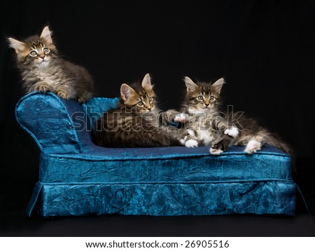 3 Maine Coon kittens on miniature blue chaise sofa on black background - stock photo