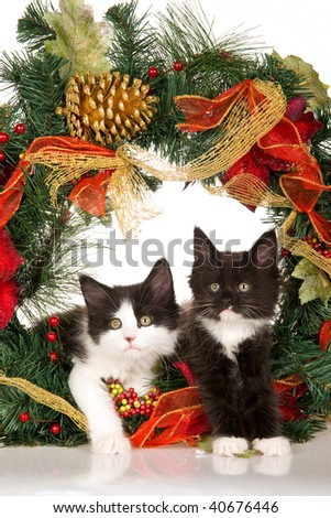 2 Maine Coon kittens on white background with colorful Christmas wreath