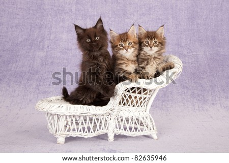 3 Maine Coon kittens on white wicker sofa on purple background - stock photo