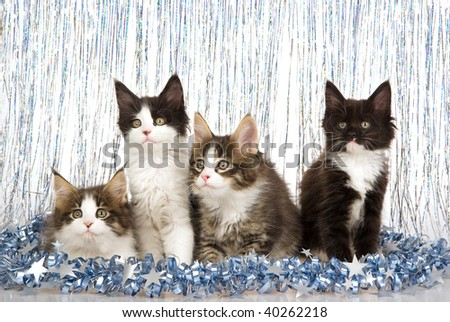 4 Maine Coon kittens with Christmas festive blue decorations on white background