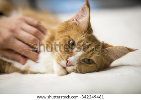 Maine Coon red tabby lying with human hand - stock photo