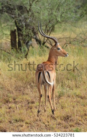 Male Impala gazelle in the bush in Tanzania Africa