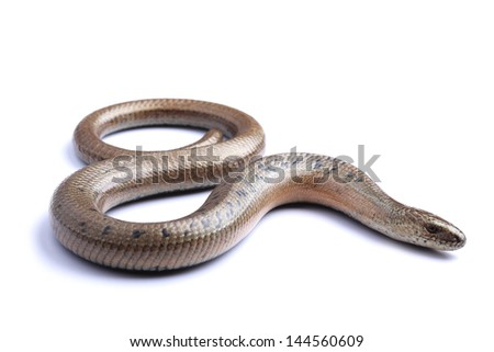 Male of Slow worm (Anguis fragilis) isolated on white - stock photo