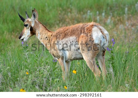 male pronghorn in  custer state park, south dakota    - stock photo