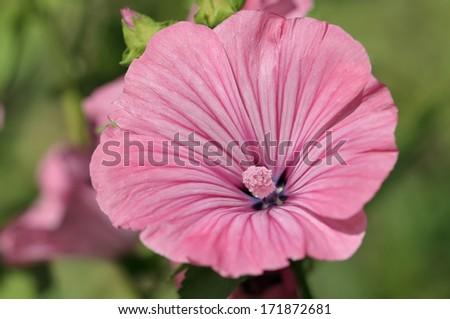 Malva flower - stock photo