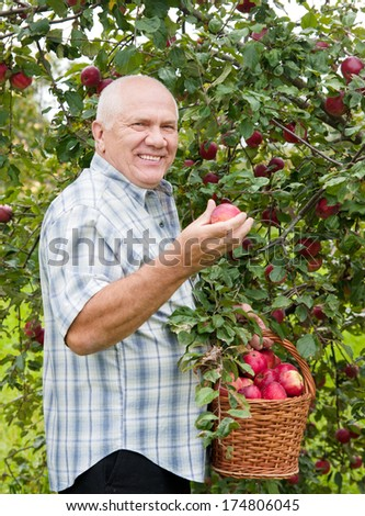 man picking apples in  basket.