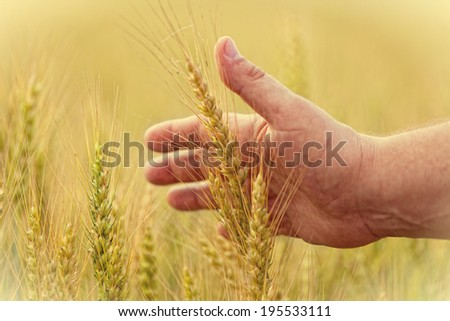 man's hand touches ripe ears of wheat