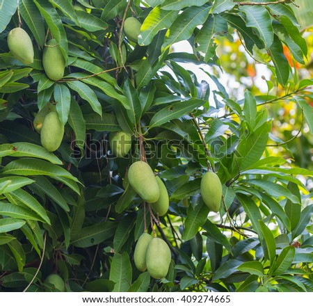 Mango on the tree in nature - stock photo