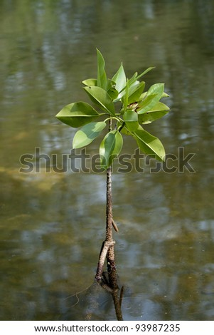 mangrove in mangrove forest - stock photo